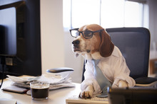 Beagle Dressed As Businessman ...