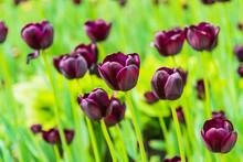 Beautiful Burgundy Tulips On T...