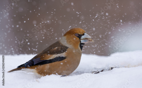 Fototapeta Male hawfinch sits in snow in winter and searches foe some food