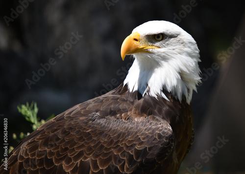 Foto op Aluminium Eagle eagle white head