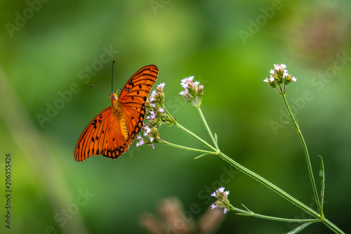 Gulf fritilliary butterfly on wildflower!