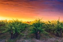 Grape Vines In McLaren Vale At...