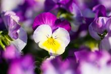 Horn Violet, Viola Cornuta, Ma...