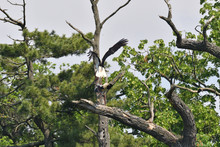 White Stork High On The Trees  In The Nest