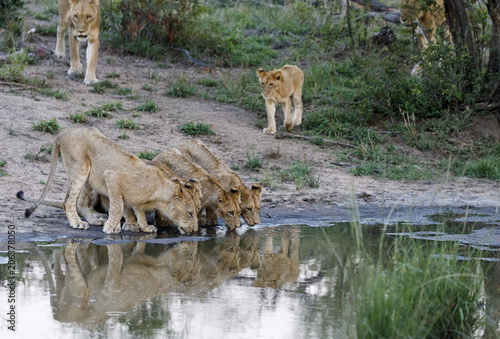 Lions drinking water from lake at Sabie Park