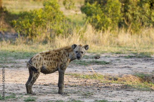 Side view of hyena standing on field at Sabie Park