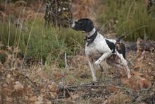 Hunting Dog, Pointer Breed, Po...