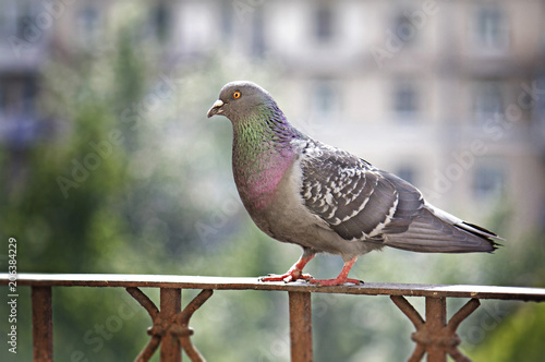 Gray pigeon sitting on handrail