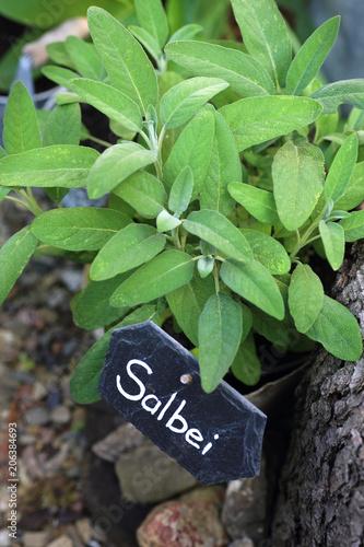 Foto auf AluDibond Kräuter Frischer Salbei im Garten