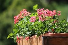 Blumenkasten Mit Roten Geranien