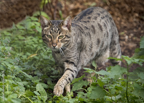 Savannah cat outside Poster