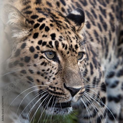 Keuken foto achterwand Luipaard Amur leopard in captivity - close up