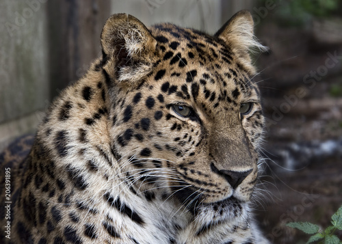 Tuinposter Luipaard Amur leopard in captivity - close up