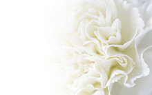 Macro White Carnation Flower Background With Copy Space