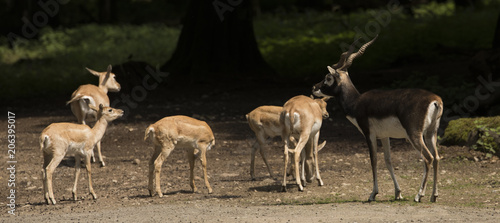 Blackbuck at the forest edge Canvas Print