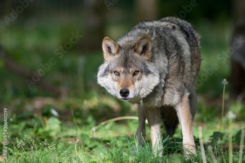 Loup Loup gris dans la forêt