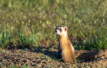 A Black-footed Ferret On The C...
