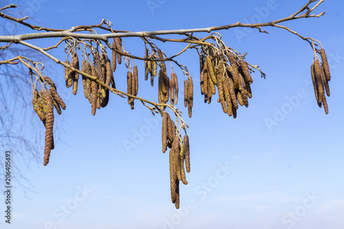 Photo European alder (Alnus glutinosa) branch with mature catkins, blooming catkins and buds on soft background, selective focus