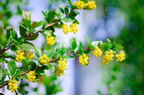 Photo Flowering branch of barberry (BERBERIS)