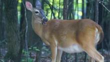 Pregnant Whitetail Deer