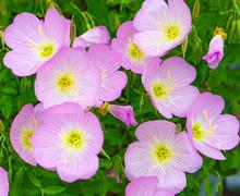 Mexican Primrose Flower Blosso...