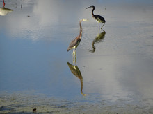 Birds Wading In The Waters