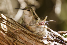 Mother Hummingbird Sitting On ...