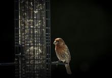 Red Finch At Bird Feeder