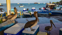 Pelicans At The Puerto Ayora Fish Market, On Isla Santa Cruz, Galapagos Islands.