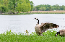 Canadian Goose Flapping Wings ...