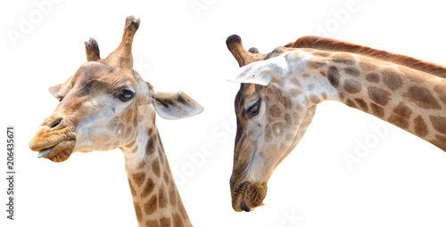 In de dag Giraffe giraffe head isolated on white background with clipping path