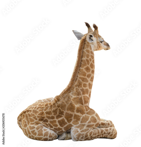 baby giraffe isolated on white background with clipping path