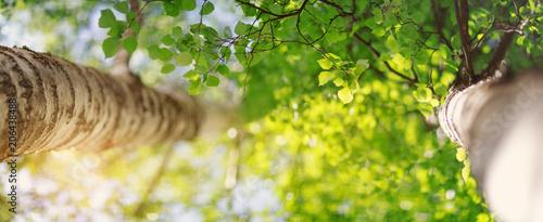 Obraz na plátně  New birch leaves on green spring background