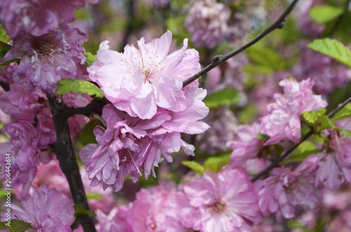 Tuinposter Azalea Sakura (prunus serrulata)