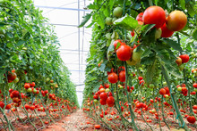 Tomatoes Field Greenhouse