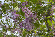 Blooming lilac branch