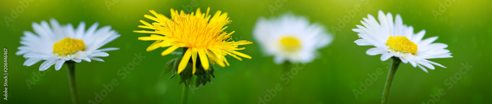 Fototapety, obrazy: Yellow dandelion and white daisies background.