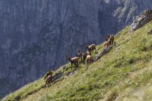 Chamois Herd In The Carpathian...