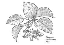 Linden Tree Flower And Leaf Illustration, Drawing, Engraving, Ink, Line Art, Vector