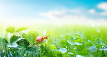 Lovely Snail In Grass With Morning Dew, Macro, Soft Focus. Grass And Clover Leaves In Droplets Of Water In Spring Summer Nature On Background Blue Sky With Clouds, Panoramic View, Copy Space.