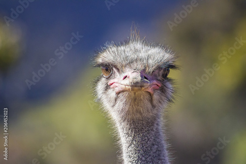 Stickers pour porte Autruche Close up of Ostrich head on with soft background