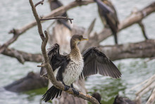 African Darter Sitting On A Br...
