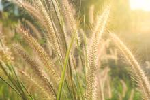 Foxtail Grass Flower In The Field With Sunlight Shines