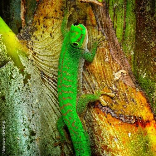 Canvas Print Gecko diurne et arboricole ou Phelsuma astriata