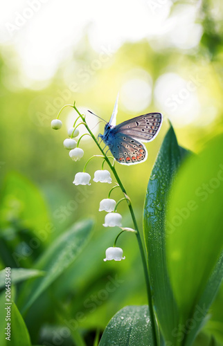Fotografie, Obraz a small blue butterfly sits on a white delicate Lily flower in a forest glade