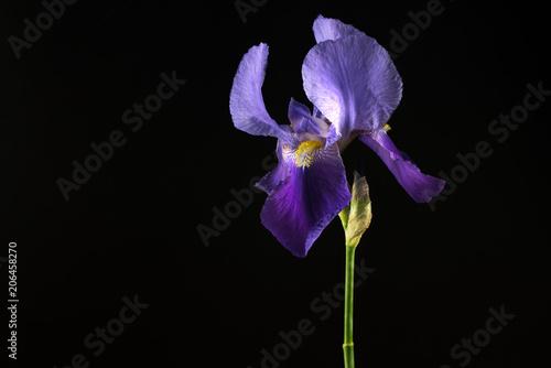 Spoed Foto op Canvas Iris Purple Iris Flower Isolated on Black Background
