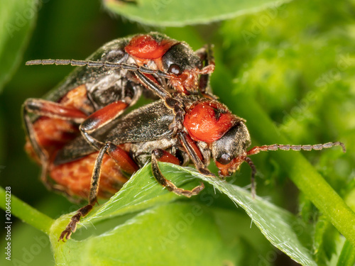 Two beetles make love in nature Poster