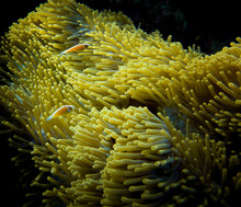Clown Fish And Their Anemone