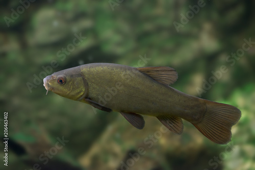 tench - Tinca tinca - fish in nature Canvas-taulu