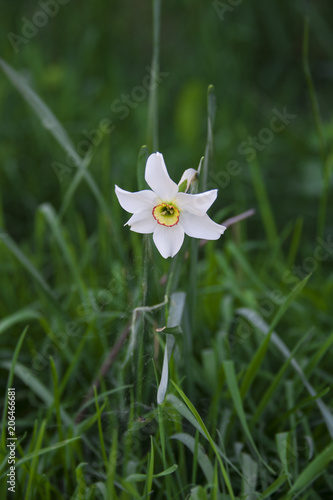 Papiers peints Narcisse Small white flower on the meadow